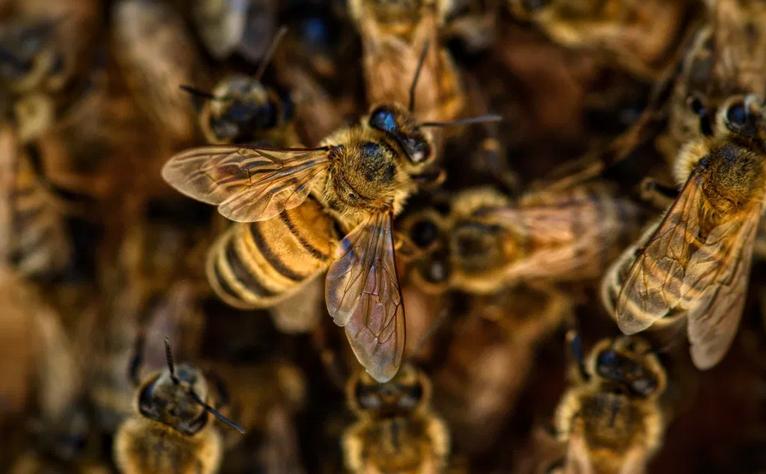 abejas2