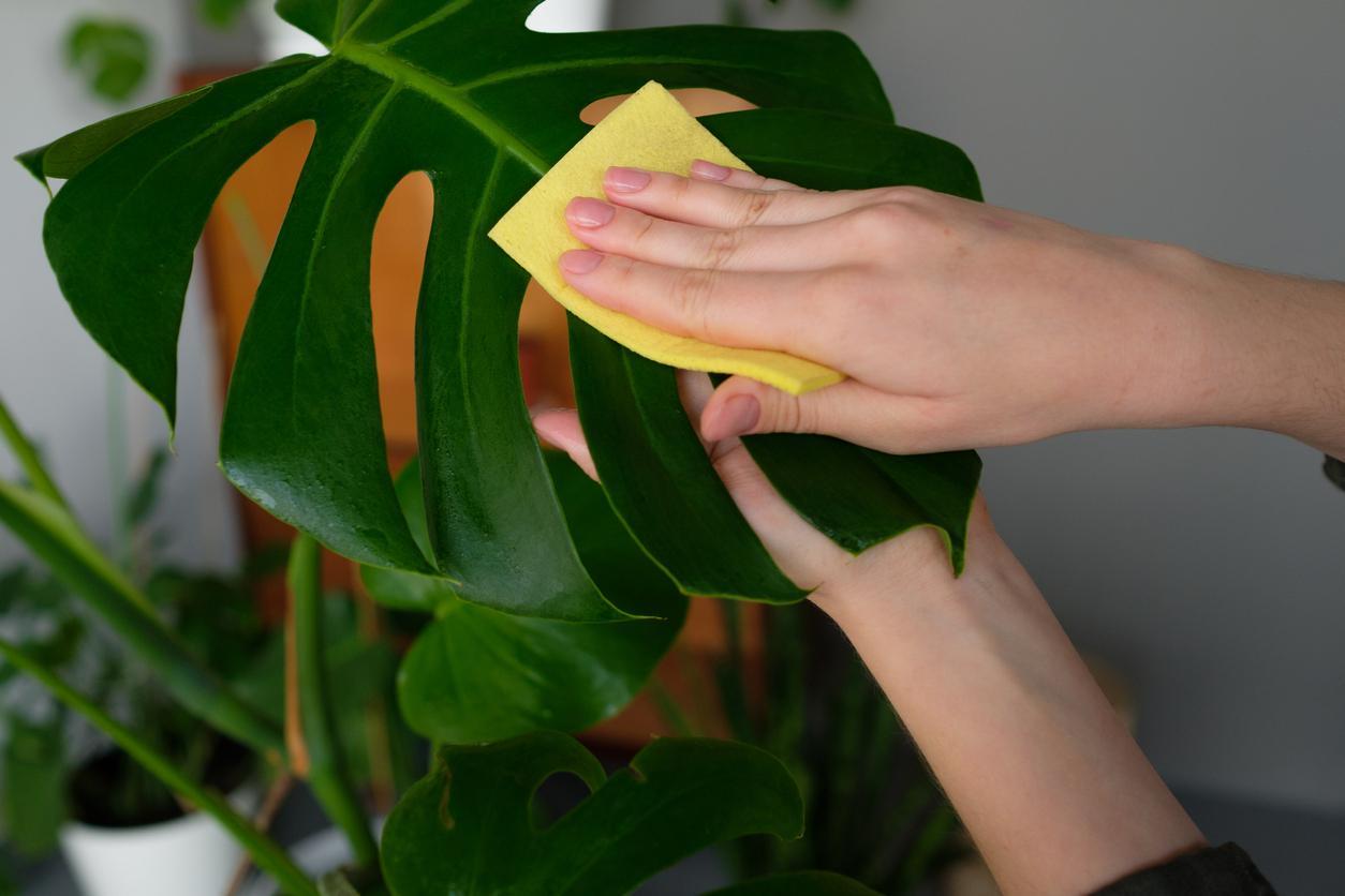 como-hacer-un-abrillantador-de-hojas-para-plantas5