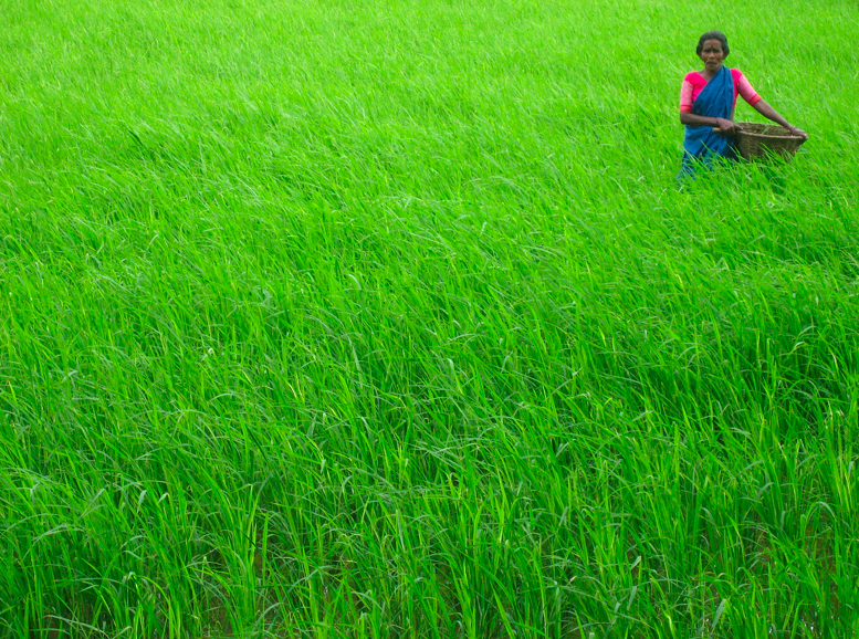 india-rice-farmer_m-kadri-cc_