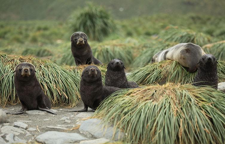antarctic-fur-seal-pups-two-column.jpg.thumb.768.768