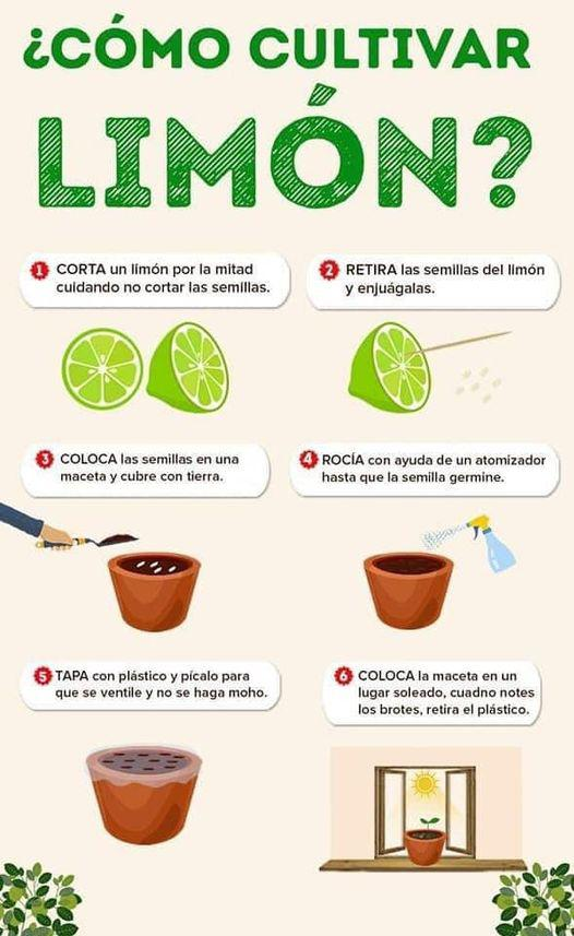 como_cultivar_limon
