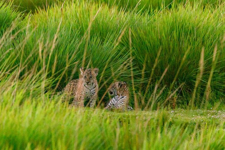 Jaguar-Cubs_-Ibera휍혖-2-768x512