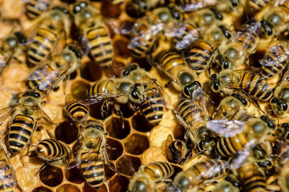 sociedad_que_forman_las_abejas