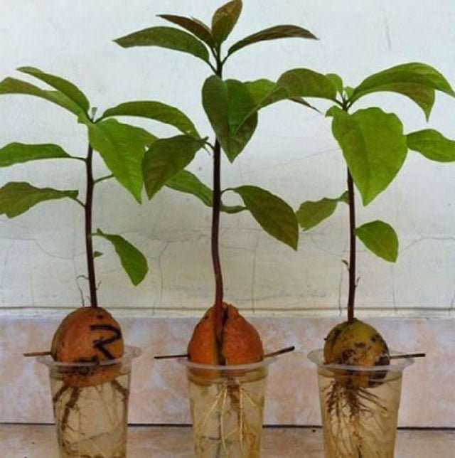 cultivo-de-palta-en-maceta